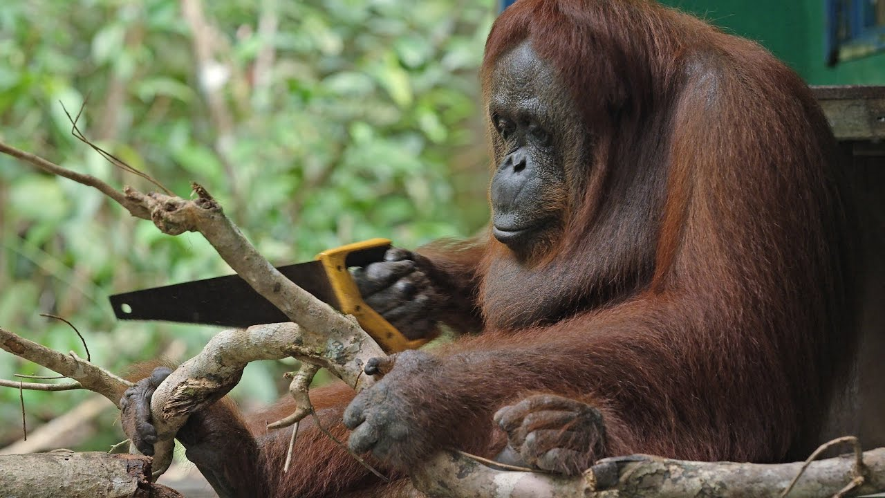 Orangutánok